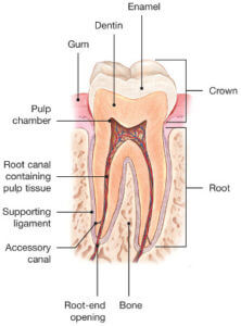 Root Canals Explained #1
